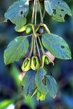 Frutta selvaggia nella foresta Fotografie Stock
