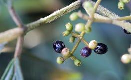 Frutta selvaggia nella foresta Fotografie Stock Libere da Diritti