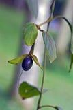 Frutta selvaggia nella foresta Immagini Stock