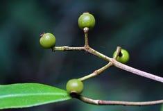 Frutta selvaggia nella foresta Immagine Stock