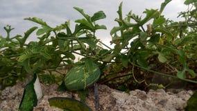 Frutta selvaggia su una parete Immagini Stock Libere da Diritti