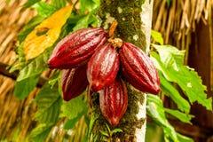 Frutta strappata del cacao che pende dall'albero Immagine Stock Libera da Diritti