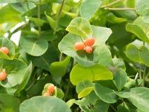 Frutta sul cespuglio, caprifolium del Lonicera Immagine Stock Libera da Diritti