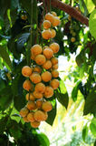 """frutta tailandese del ฟ del """"del ¹ del ะà del ¡ del ภFotografia Stock Libera da Diritti"""