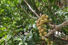 Frutta tailandese Lang-seduta e Longgong Fotografia Stock