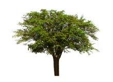 Frutta tropicale, albero indiano della giuggiola isolato su fondo bianco con il percorso di ritaglio fotografia stock