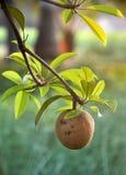 Frutta tropicale - Chiku Fotografia Stock Libera da Diritti