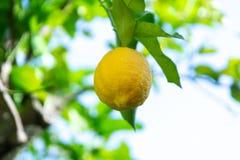 Frutta tropicale del grande agrume giallo maturo del limone che appende sul tre del limone Fotografia Stock Libera da Diritti