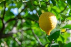 Frutta tropicale del grande agrume giallo maturo del limone che appende sul tre del limone Immagini Stock Libere da Diritti