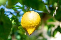 Frutta tropicale del grande agrume giallo maturo del limone che appende sul tre del limone Immagini Stock
