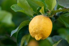 Frutta tropicale del grande agrume giallo maturo del limone che appende sul tre del limone Fotografie Stock Libere da Diritti