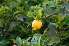 Frutta tropicale del grande agrume giallo maturo del limone che appende sul tre del limone Immagine Stock Libera da Diritti