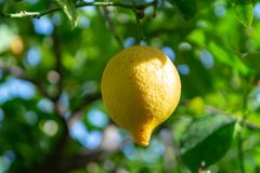 Frutta tropicale del grande agrume giallo maturo del limone che appende sul tre del limone Fotografia Stock
