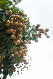 Frutta tropicale del Longan sull'albero Fotografie Stock