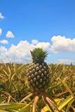 Frutta tropicale dell'ananas Immagine Stock
