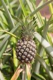 Frutta tropicale dell'ananas Fotografie Stock Libere da Diritti