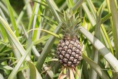 Frutta tropicale dell'ananas Fotografia Stock Libera da Diritti