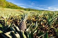Frutta tropicale dell'ananas nell'azienda agricola di estate Fotografia Stock