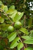 Frutta tropicale della guaiava sull'albero Fotografie Stock