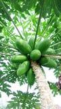 Frutta tropicale della papaia sana Immagini Stock Libere da Diritti