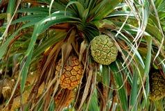 Frutta tropicale su un albero Fotografia Stock Libera da Diritti