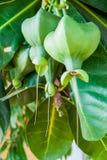Frutta tropicale verde Fotografie Stock
