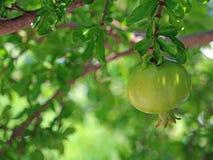 Frutta verde del melograno sul ramo di albero con il bukeh naturale del fogliame Immagine Stock