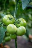 Frutta verde del pomodoro sulla pianta Immagini Stock Libere da Diritti