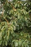 Frutta verde della noce non matura sul ramo di albero Fotografia Stock