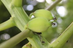 Frutta verde della papaia fotografie stock