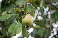 Frutta verde della pera non matura sul ramo di albero Immagini Stock