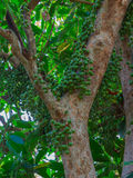 Frutta verde di ramiflora di Baccaurea sull'albero Immagine Stock Libera da Diritti
