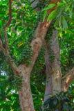 Frutta verde di ramiflora di Baccaurea sull'albero Fotografia Stock Libera da Diritti