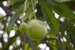 Frutta verde fresca del odollam di Cerbera nel giardino della natura Immagini Stock