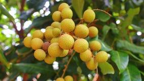 Frutteti del Longan fotografie stock libere da diritti