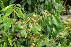 Frutteti del Longan - giovane longan di frutti tropicali nell'azienda agricola della Tailandia Fotografia Stock Libera da Diritti