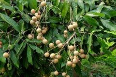 Frutteti del Longan - giovane longan di frutti tropicali nell'azienda agricola della Tailandia Immagine Stock