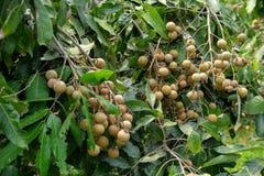 Frutteti del Longan - giovane longan di frutti tropicali nell'azienda agricola della Tailandia Fotografie Stock Libere da Diritti
