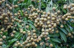 Frutteti del Longan - longan dei giovani di frutti tropicali Immagini Stock Libere da Diritti