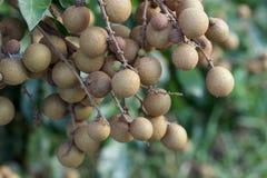 Frutteti del Longan - longan dei giovani di frutti tropicali Immagine Stock