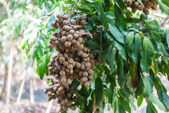 Frutteti del Longan - longan di frutti tropicali Immagini Stock