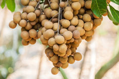 Frutteti del Longan - longan di frutti tropicali Immagine Stock