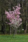 Frutteti sboccianti in primavera Alberi del frutteto e fiori di fioritura dei giacinti Priorità bassa della sorgente Frutteto del Fotografia Stock Libera da Diritti