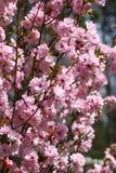 Frutteti sboccianti in primavera Alberi del frutteto e fiori di fioritura dei giacinti Priorità bassa della sorgente Frutteto del Fotografia Stock