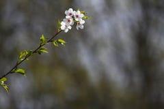 Frutteti sboccianti in primavera Alberi del frutteto e fiori di fioritura dei giacinti Priorità bassa della sorgente Frutteto del Fotografie Stock Libere da Diritti