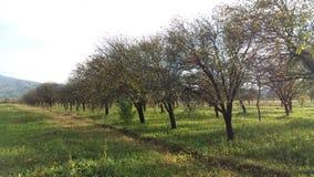 frutteto Immagini Stock