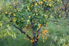 Frutteto arancio con la crescita di frutti nel villaggio di Biniaraix vicino a Soller Valle di Soller, Maiorca Immagini Stock