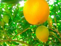 Frutteto arancione Immagini Stock Libere da Diritti