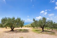 Frutteto con di olivo in mare in Grecia Immagini Stock