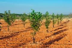 Frutteto con i giovani alberi di cachi Fotografia Stock Libera da Diritti